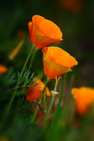 c27-Orange-Poppies-Photograph-by-Sedona-Photographer-Jim-Peterson.jpg
